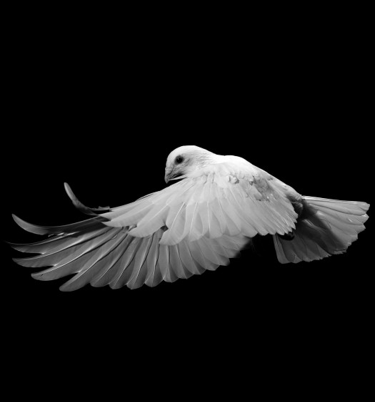 A white homing pigeon in flight. Photo by David Stephenson