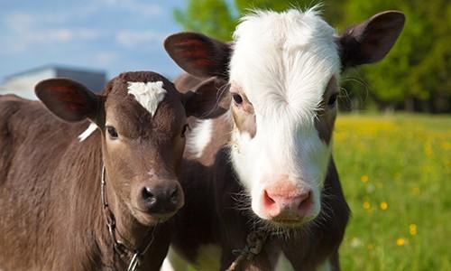 WHO – Egészségügyi Világszervezet: Állítsuk le az antibiotikumok alkalmazását egészséges állatokon